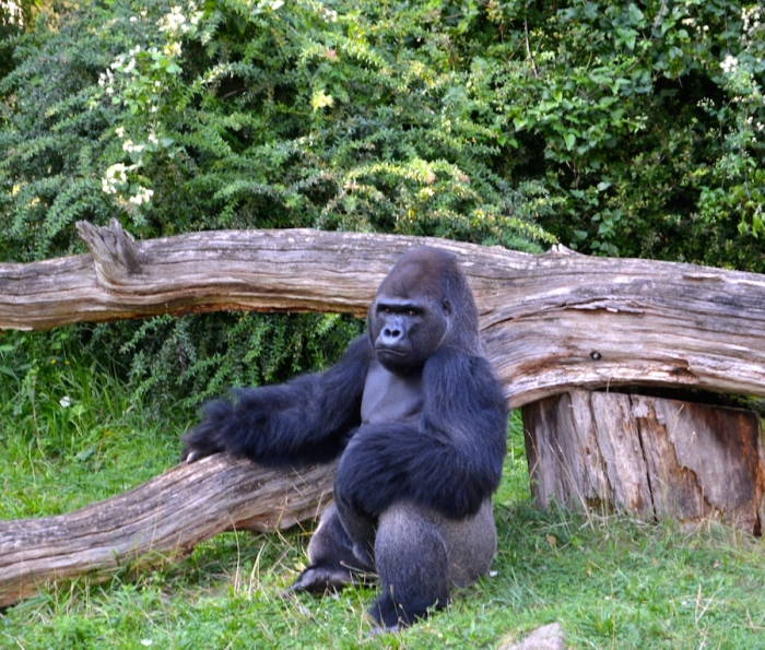gorila zoo berlin - Barbara Poplade Schmalz©